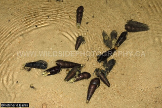 41470 Hermit crabs, probably Clibanarius longitarsus, using brackish water snail (Faunus ater) shells as shelters in a back-beach tidal lagoon of the Setiu Wetlands, Terengganu, Malaysia.
