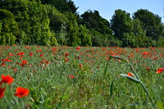 Poppy fields. (pstone646) Tags: poppies nature flowers landscape view trees plants grasses meadow flora red green kent dof