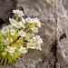 #PelsCaminsdelPallars18 | Corona de Reina | Saxifraga paniculata