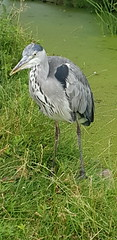 20180710_133923 (The Unofficial Photographer (CFB)) Tags: ron heron bestofthebest greychestedheron greyheron featheredfriends