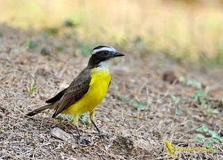 Rusty-margined flycatcher - Tyran de Cayenne - Mosquero alicastaño - Myiozetetes cayanensis