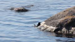 Seal (Verokark) Tags: seal animal нерпа pinniped mammalia