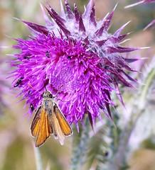 Skipper (Phil Wood60) Tags: skipper red butterfly purple thistle flower