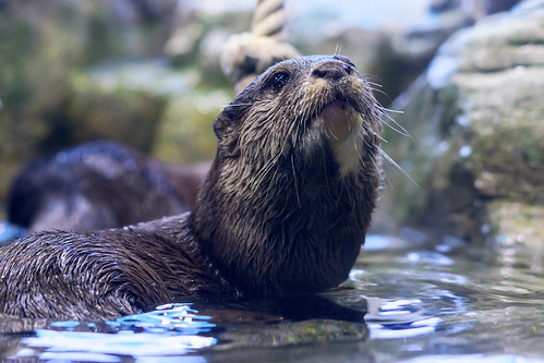 Asian Small-clawed Otter (Aonyx cinerea) of Enoshima Aquarium, Fujisawa : コツメカワウソ(藤沢市・新江ノ島水族館)