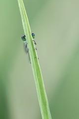 Agrion élégant (Dakysto94) Tags: odonate odonata libellule libellula dragonfly damselfly demoiselle insecte insect macro proxi proxy proxiphoto paris agrion animal nature vert green