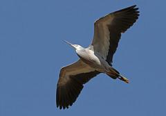 White Faced Heron (DaveSPN) Tags: heron whitefacedheron melbourneaustralia flight heathdaleglenordenwetlands canon canon7dll tamron tamronsp150600mm wader