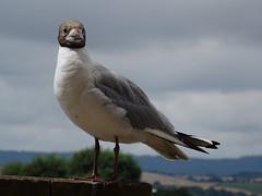 Black-headed gull (guyfogwill) Tags: guyfogwill unitedkingdom devon 2018 topsham gbr birds river exeter riverexe seagull july blackheadedgull