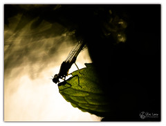agrion (Olympus Passion eric leroy) Tags: vert libellules odonate olympus omdem1 mkii zuiko 300f4 macro proxi provence verte