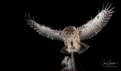 Tawny owlet inflight (Ian howells wildlife photography) Tags: wildbird wild 30028mkii flash hide canonuk bbc nationalgeographic owl owlet tawny tawnyowl wales naturephotography nature wildlifephotography ianhowells