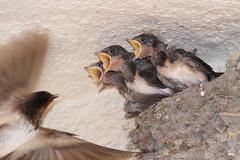 20180722_IMG_2060 (NAMARA EXPRESS) Tags: swallow family child baby bird animal mouth yellow nib nest 2018 daytime fine outdoor color flash strobe toyonaka osaka japan canon eos 7d tamron sp 70300mm f456 zoom namaraexp