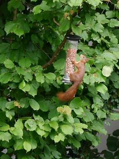Squirrel  -  Sciurus vulgaris
