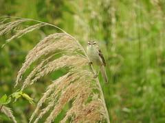 Sedge Warbler, Burwell Fen (andyh866) Tags: cambridgeshire burwellfen