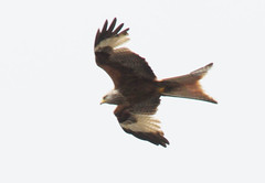 DSC_0559 (PeaTJay) Tags: nikond300s reading lowerearley berkshire outdoors nature birds birdsofprey redkite