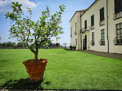 Lemon tree (Markom 4.0) Tags: castello masino lemon tree green castel limoni pianta italia italy