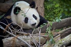 Bai Yun with Red Delicious Apple (Rita Petita) Tags: baiyun sandiegozoo sandiego california china panda giantpanda reddeliciousapple
