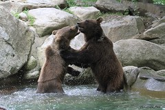 Ours bruns (Passion Animaux & Photos) Tags: ours brun brow bear ursus arctos parc animalier pyrenees france