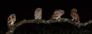 Meet the Owlets