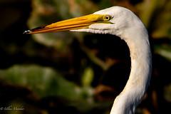 Great egret (mayekarulhas) Tags: egret bird avian wildlife wild canon canon7dll johnheinznaturereserve philadelphia pennsylvania