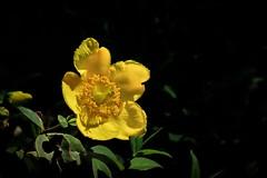 Anemone ranunculoides (Prilla 4.0) Tags: anemone ranunculoides anemoneranunculoides fiore flower giallo yellow macro canonsx540 natura nature
