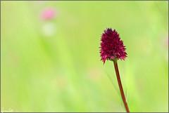 red passion (Luciano Silei - sky7) Tags: nigritellarhellicani nigritella orchid wildorchid bokeh macro closeup nature canon7d zenit tair11a manualfocus oldlens vintagelens m42 lucianosilei