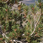 whitebark pine, Pinus albicaulis, branches and male cones thumbnail