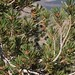 whitebark pine, Pinus albicaulis, branches and male cones