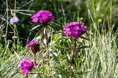 Col de las Fouzès (Ariège) (PierreG_09) Tags: coldelasfouzès ariège pyrénées pirineos couserans montagne flor flore fleur plante dianthuscarthusianorum oeilletdeschartreux œillet auluslesbains