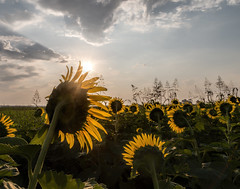 Facing the sun (Mike Matney Photography) Tags: 2018 canon columbiabottoms eos6d july midwest missouri flowers nature summer sunflower sunflowers stlouis unitedstates us