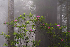 June Peace (wuman88) Tags: forest redwood rhododendron fog tranquil serene morning mood