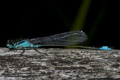 Blue Tailed Damsel (Ischnura elegans) (wayne.withers1970) Tags: small pretty wings fly flight flying color colorful nature natural colour colourful wild wildlife wales summer macromonday flickr dof bokeh country countryside outside outdoors alive fauna canon sigma light wood blur black white blue brown lake river fine net mesh dragonfly dark macro macromondays wwt llanelli damselfly invertebrate bluetaileddamsel animal