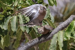 Getting ready for the act of love (Paul Wrights Reserved) Tags: dove doves pigeon pigeons bird birding birds birdphotography birdinflight blackcollareddove flying fly flight flapping flyingbird inflight beautiful