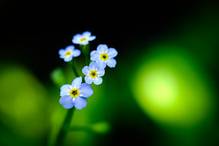 A True Forget-Me-Not (Nicholas Erwin) Tags: trueforgetmenot forgetmenot flower plant wild wildflower nature bokeh blur depthoffield dof contrast colorful myosotisscorpioides waterbury vermont vt unitedstatesofamerica usa america summer style fujifilmxt2 fujixt2 fujifilm fuji xt2 xf60mmf24rmacro xf60 fujixf6024 6024 fujifilmmacro macro closeup flowers fav10 fav25