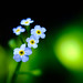 A True Forget-Me-Not
