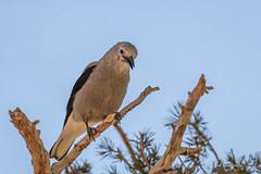Clark's Nutcracker (Bob Gunderson) Tags: birds california clarksnutcracker corvids monocounty northerncalifornia sierras virginialakesresort