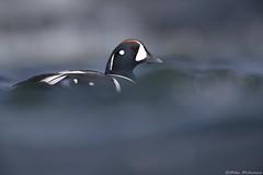 Harlequin duck (Mike Mckenzie8) Tags: istrionicus histrionicus iceland laxa wild wildlife bird river spring rapids white water