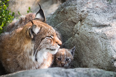 Lynx cub and her mother (CecilieSonstebyPhotography) Tags: cub catfamily eurasianlynx lynx cute closeup baby cat outdoor canon kitten animal norway lynxkitten markiii gaupe lynxbaby langedrag canon5dmarkiii adorable july animals lynxmother mother rock ef70200mmf28lisiiusm specanimal