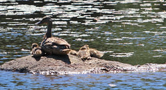 Mama & her ducklings - 6/19/18 (myvreni) Tags: vermont spring nature outdoors wildlife birds