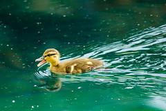 Speedy Duckling (Eric Tischler) Tags: baby duck duckling