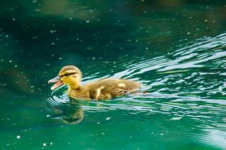 Speedy Duckling