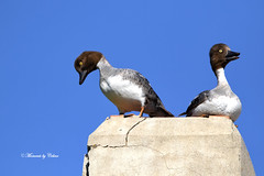 Don't jump mate!! (Canon Queen Rocks (2,193,000 + views)) Tags: ducks commongoldeneye birds bird waterfowl nature feathers wildlife wings wild perched eyes bluesky blues momentsbycelinecom explorenature