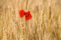 La solitude est un coquelicot perdu dans un champ de blé (Croc'odile67) Tags: nikon d3300 sigma contemporary 18200dcoshsmc paysage landscape campagne fleurs flowers coquelicots poppies champ nature