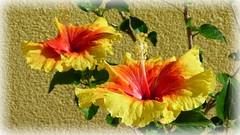 Two of us (ursula.valtiner) Tags: blume flower garden garten hibiskus hibiscus gelb yellow blüten