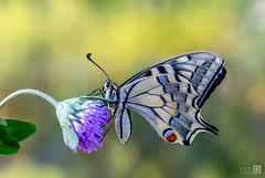 Macaón (Papilio Machaon) (JoseQ.) Tags: macro macrofotografia mariposa bicho insecto paipilioidaemacaon colores fondo flor campo airelibre posado reina belleza olympus