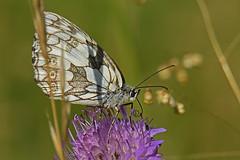 Papillon (Yves.Henchoz) Tags: nikond5 nature sauvage genève suisse switzerland swiss svizzera papillon tamron150600