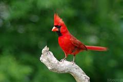 One Handsome Dude (Vie Lipowski) Tags: northerncardinal cardinaliscardinalis bird redbird commoncardinal songbird male tree branch backyard wildlife nature