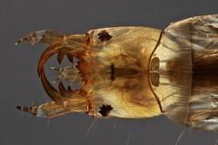 Hydrophilidae larva (mr.sansibar) Tags: jansjö freshwater pond planapo focusstacking coleoptera photomicrography microscopy beetle larva aquatic polarizedlight olympusbh2 insect arthropoda