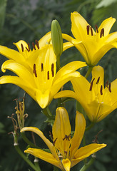Yellow lilies (Shotaku) Tags: garden flowers flower group lily lilies yellow closeup plants plant blooms blooming