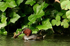 bullhead brunch (westoncfoto) Tags: cromfordcanal matlock derbyshire canal industrial dabchick littlegrebe babies fish