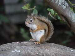 Hi ! (CTfoto2013) Tags: squirrel ecureul mammifere rongeur rodent arbre massachussetts newengland faune ecureuilroux lumix panasonic gx8 redsquirrel