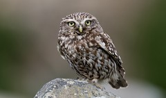 Little owl (ftm599) Tags: nikon200500 nikond500 nikon rock naturephotography wildlifephotography actionphotography nature wildlife wild pose hunting hunter portrait birdofprey birds bird owls owl littleowl